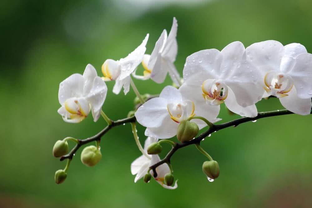 little white flowers - Orchid flower