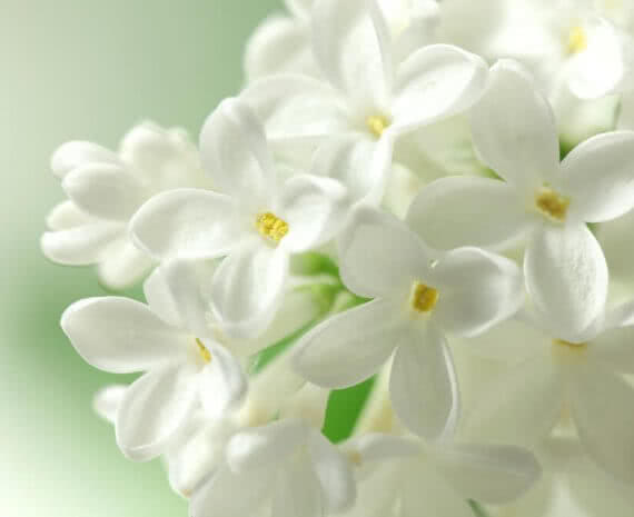 White Flowering Plants