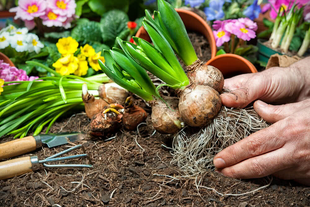 planting bulbs in pots outdoors