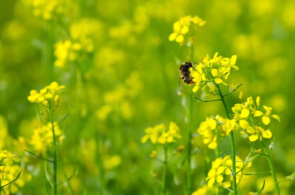 mustard plant to attract insect pests in garden