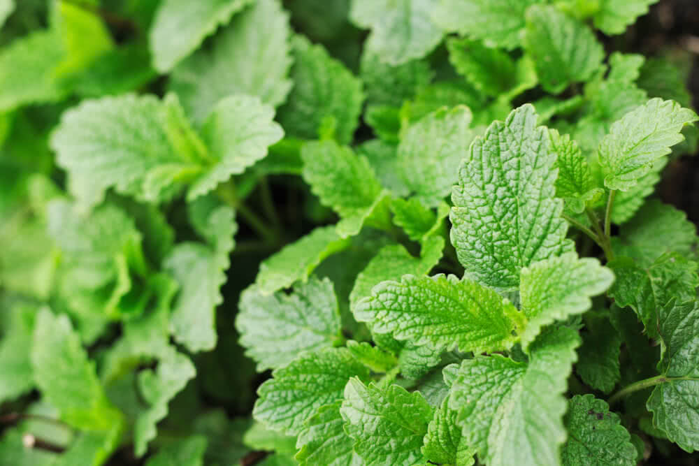 mint varieties - sweet mint