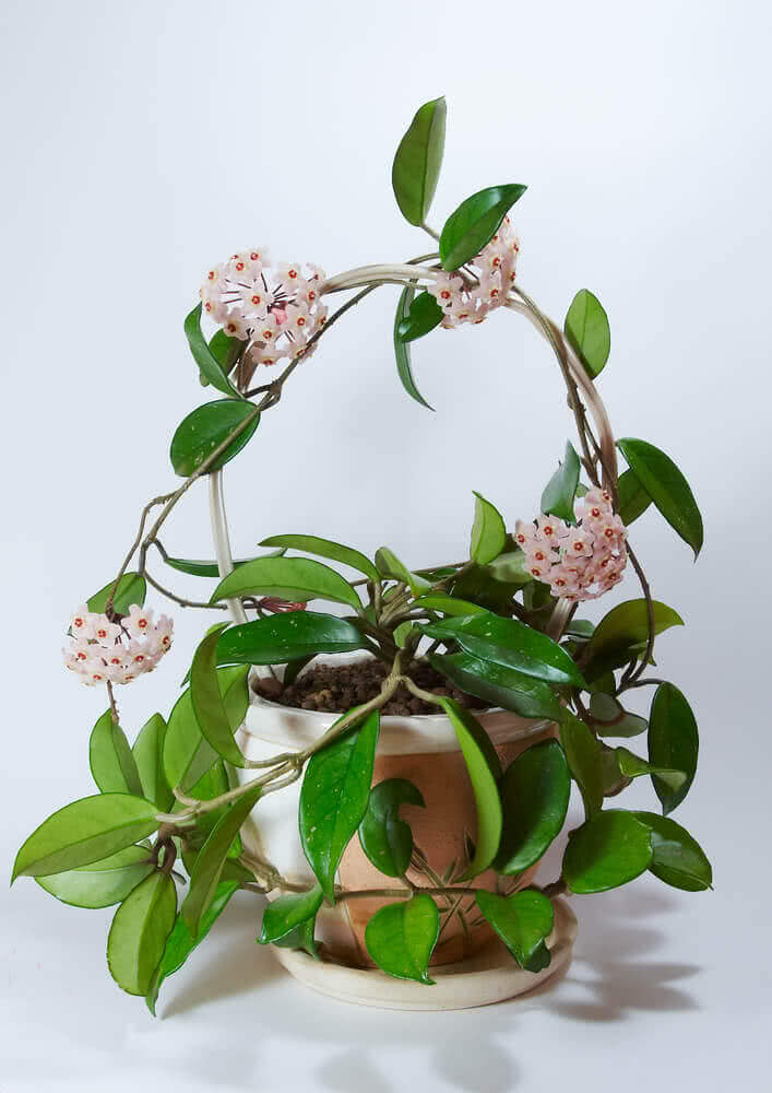 Hoya: indoor climbing vines