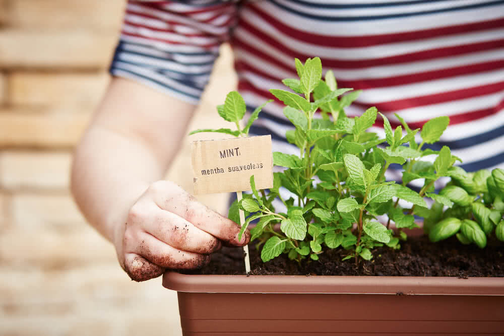 planting mint in pots