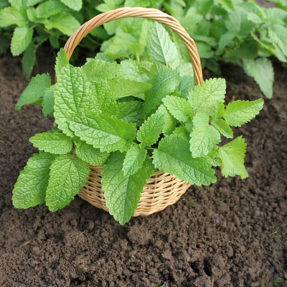 Mint plant maintenance