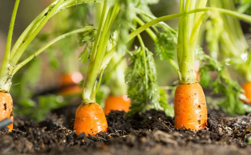 How To Grow Carrots At Home Growing Carrots In Containers