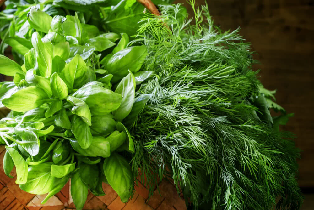 Spicy herbs: green basil, dill