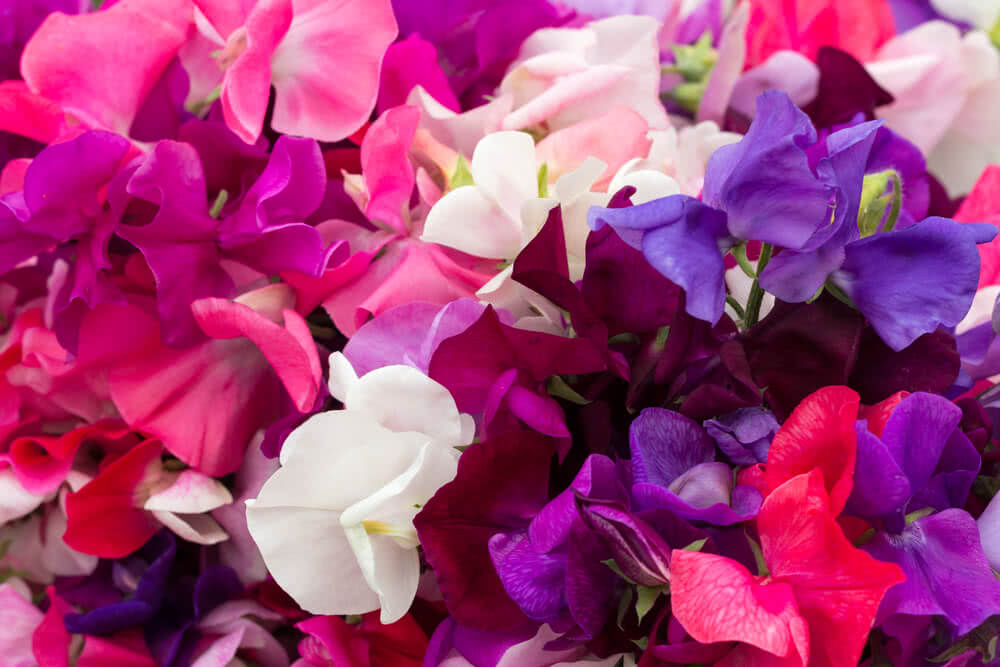 how to make sweet peas