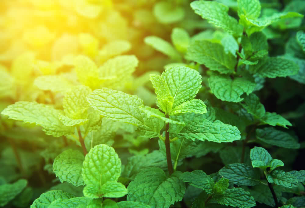 sunlight requirement of mint or pudina plant