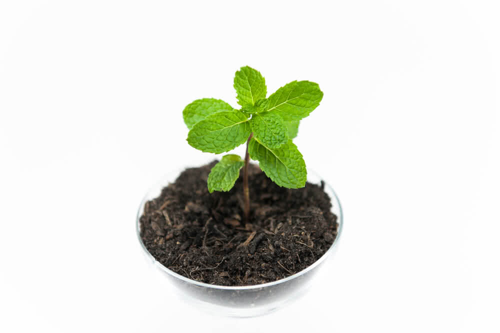 how to grow mint herb from seeds