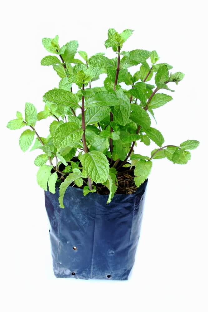 Growing mint plant bought from nursery