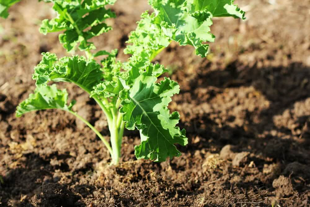 sunlight requirement of kale vegetable
