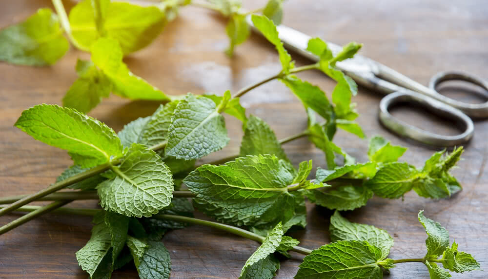 Mint herb plant to grow from stem cuttings