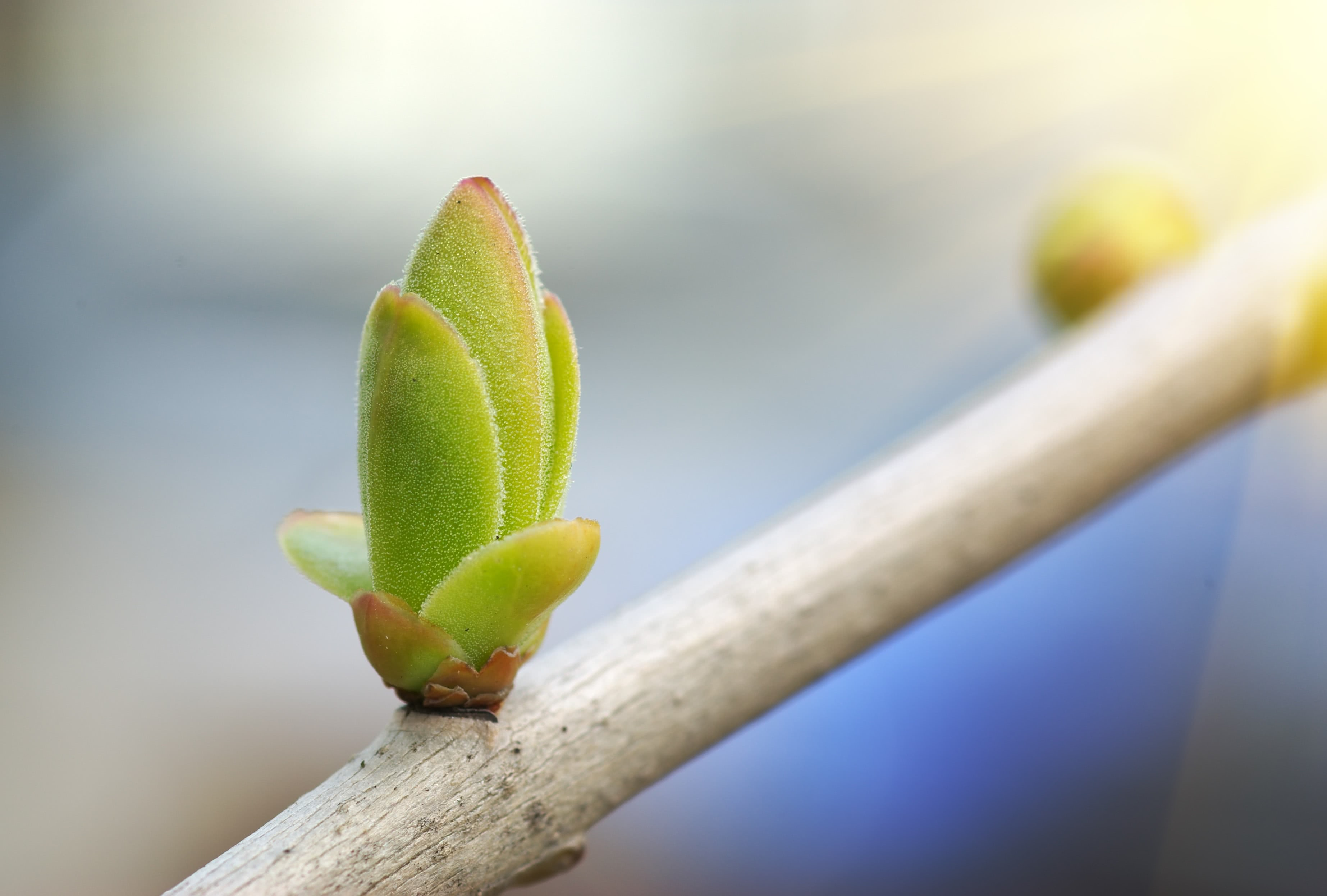 leaf bud cutting
