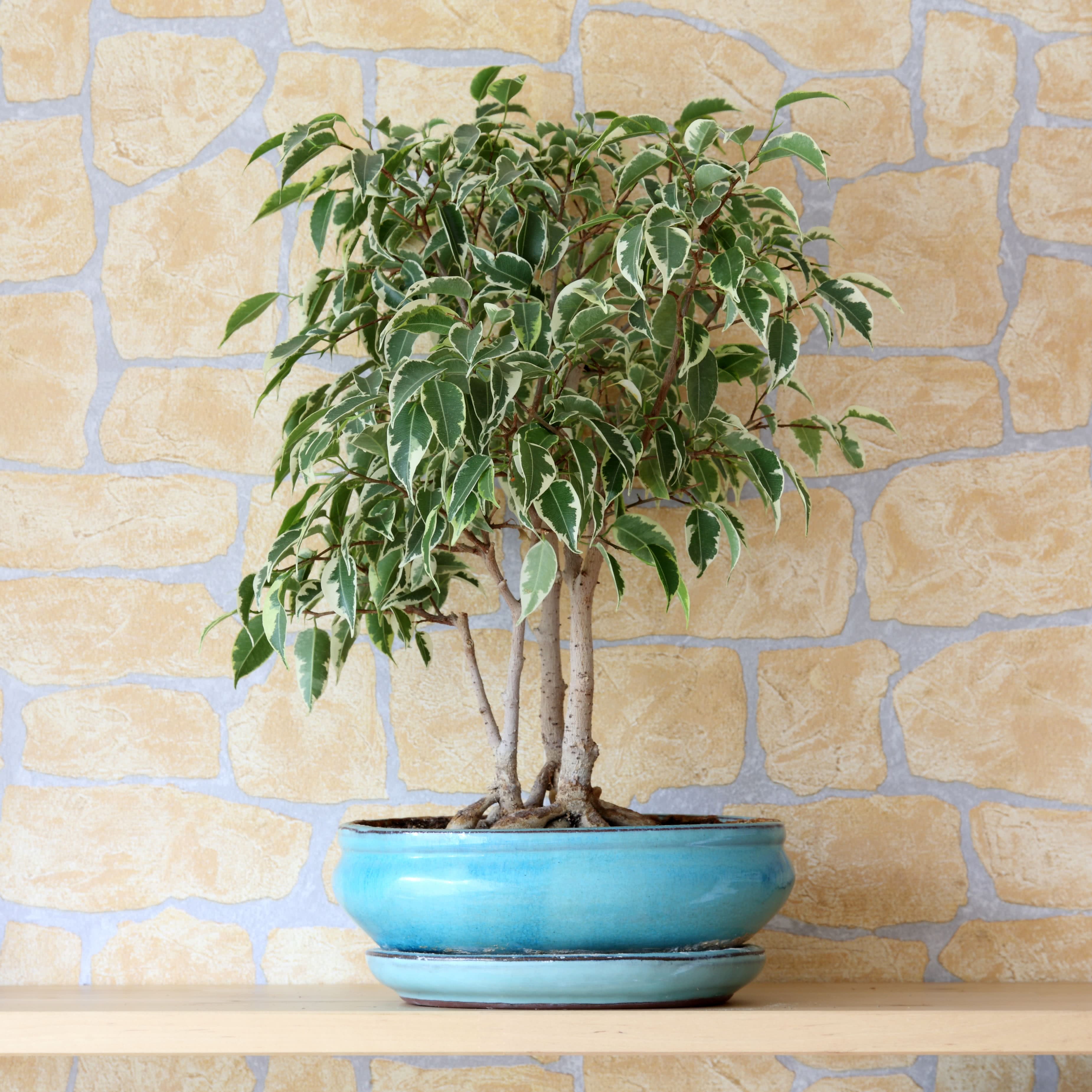 foundation bushes - Ficus Benjamina or Weeping Fig
