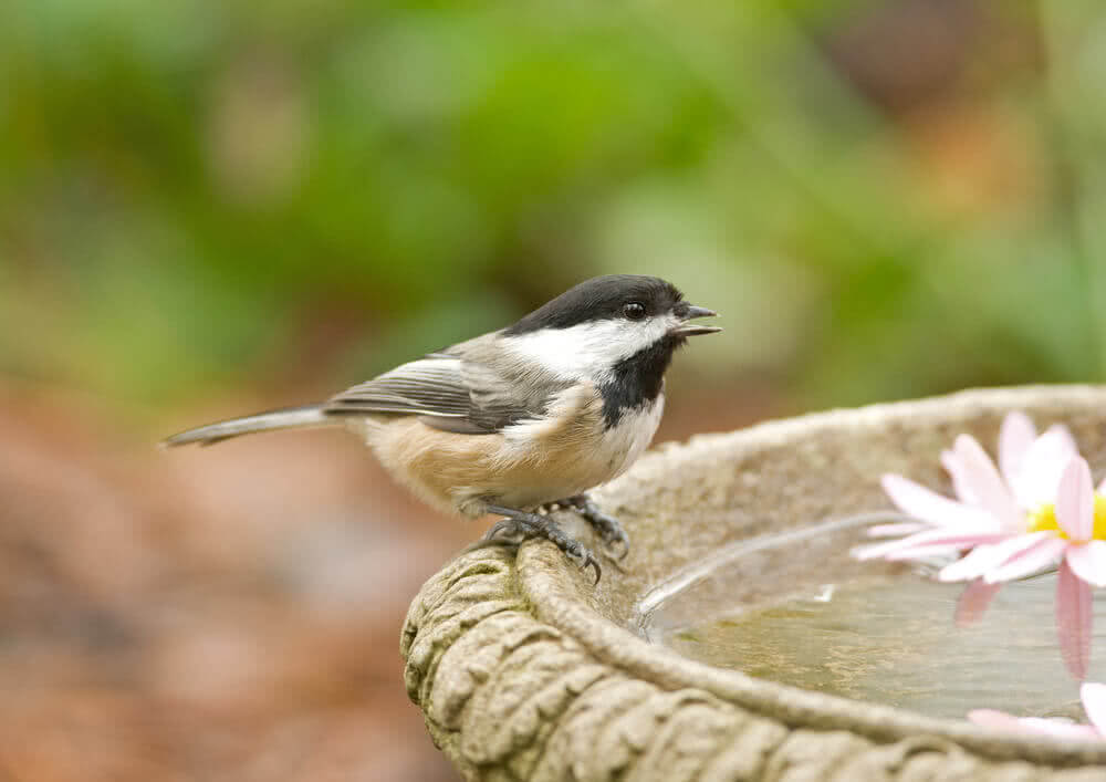 bird drinking water in bird bath