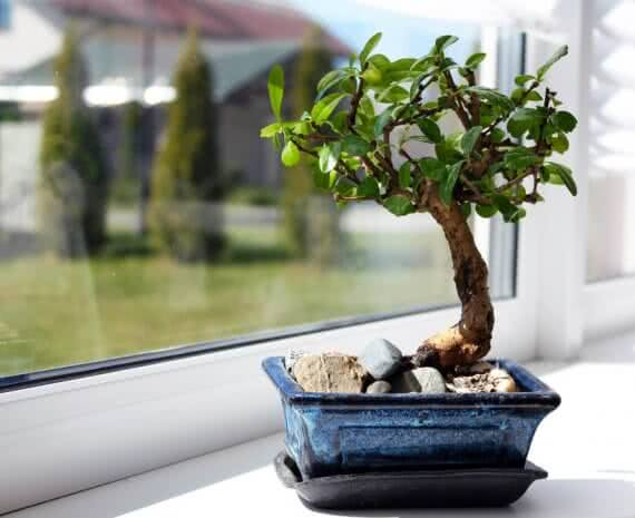 how to repot bonsai plant