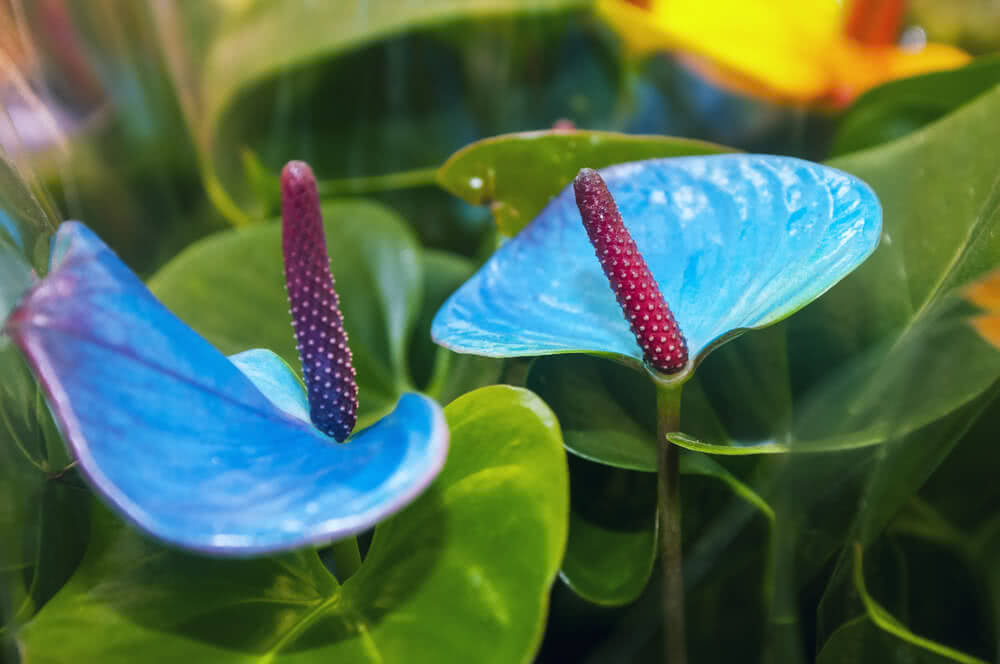 tailflower, flamingo flower and laceleaf