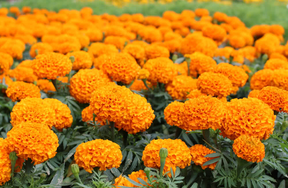 Dwarf orange marigold plants