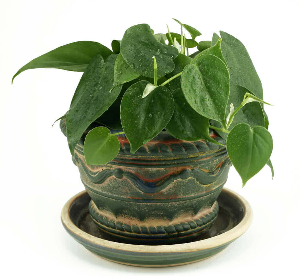 potted philodendron plant