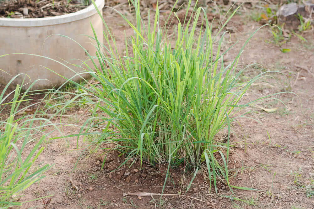 Lemon grass growing in home garden