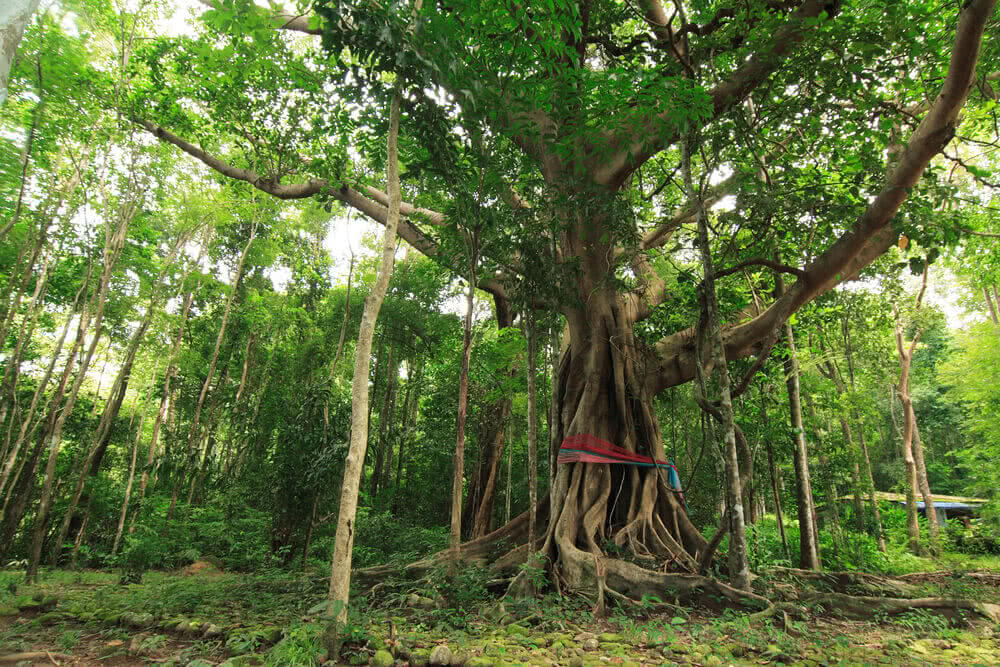 Myths of banyan tree