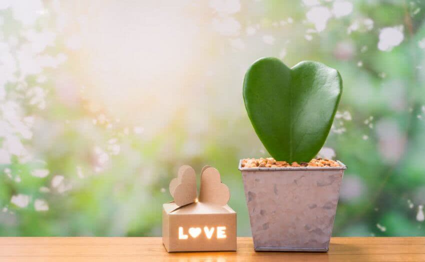 heart shaped plants for valentines day