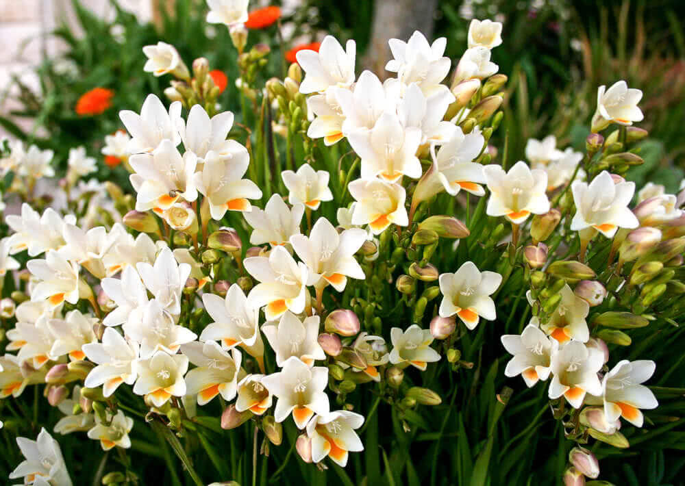 Freesia flowers used in bouquets