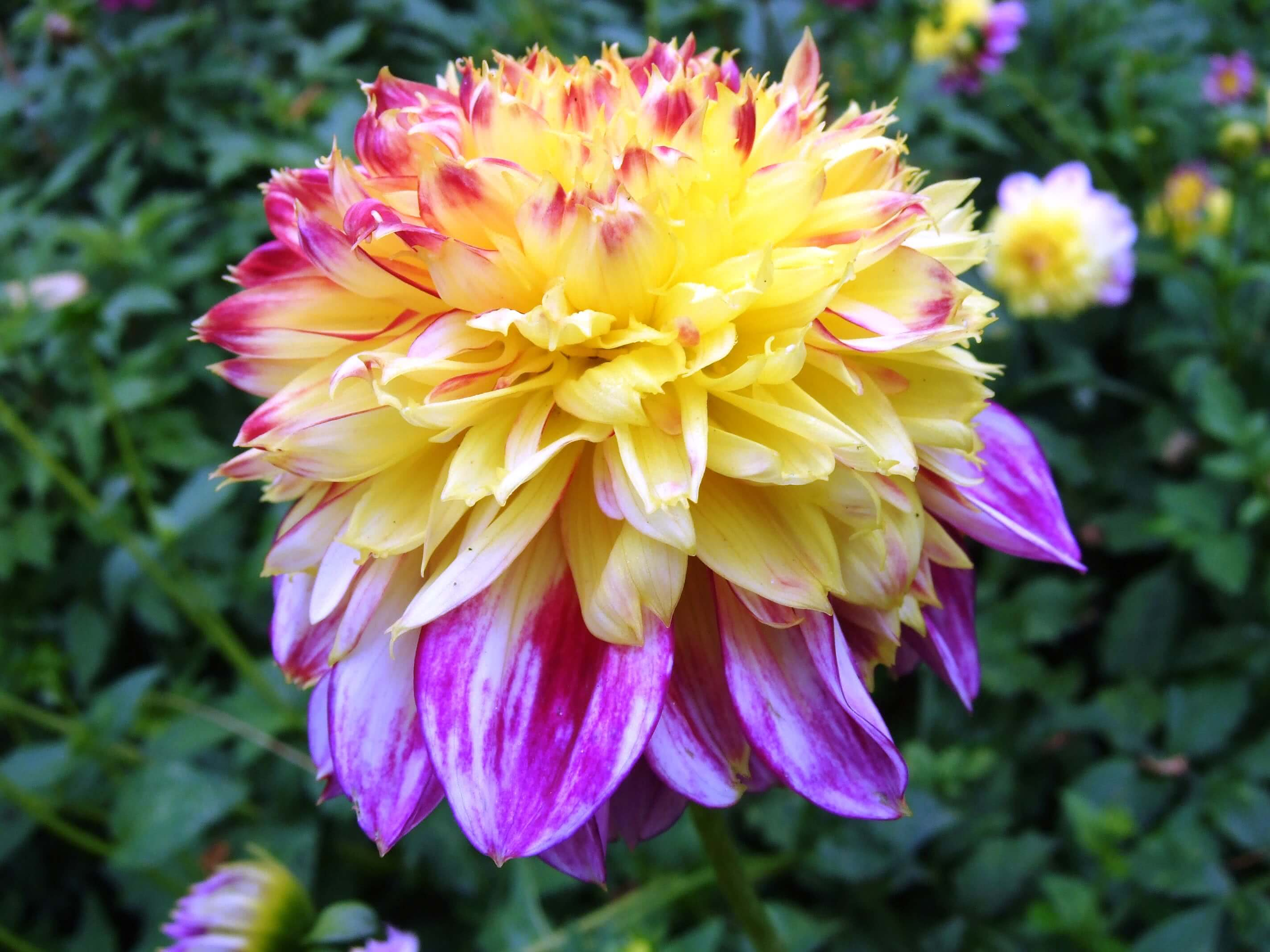 10 Varieties Of Dahlia Flowers Types Of Dahlias Dahlia Varieties
