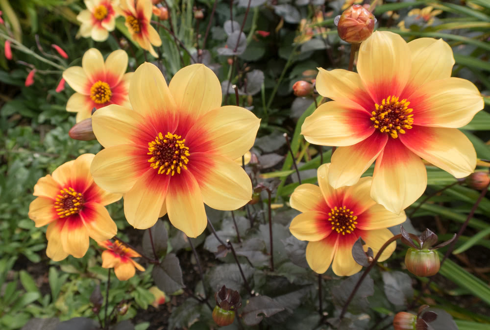 Dwarf bedding dahlias