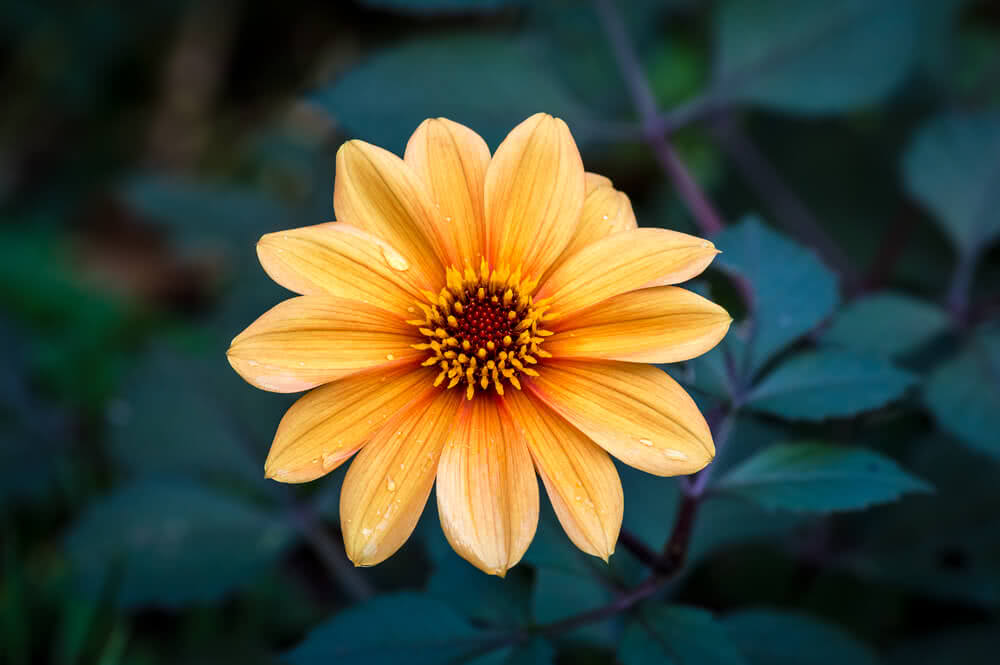 orange single flowered dahlia