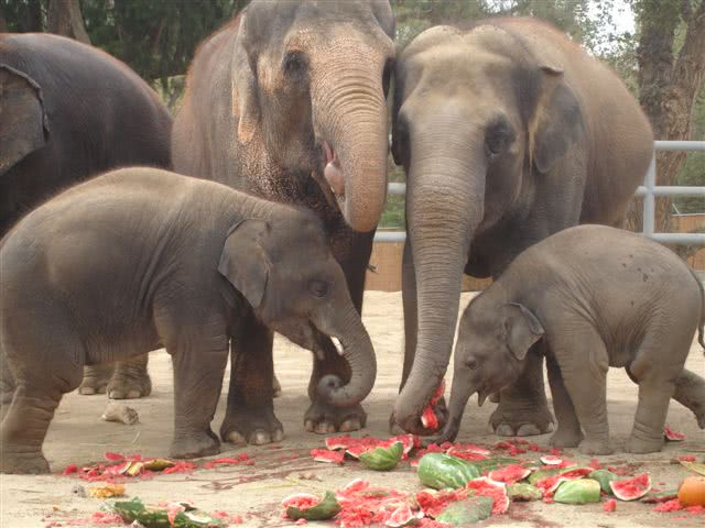 Watermelons eaten by elephants to cool themselves