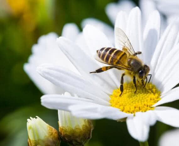 pollination in plants with bees