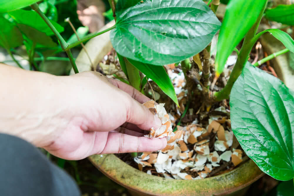 Eggshells as natural fertilizer