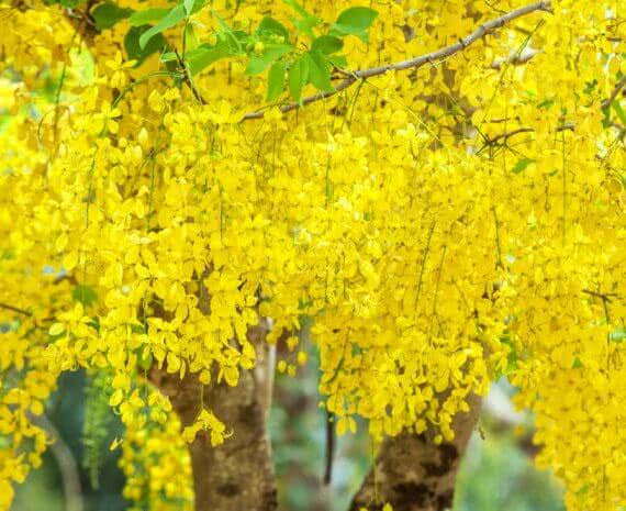 the Golden Rain Tree (Cassia Fistula)