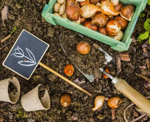 Growing flower bulbs in bulb planter