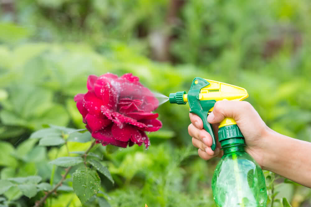 treating aphids on roses