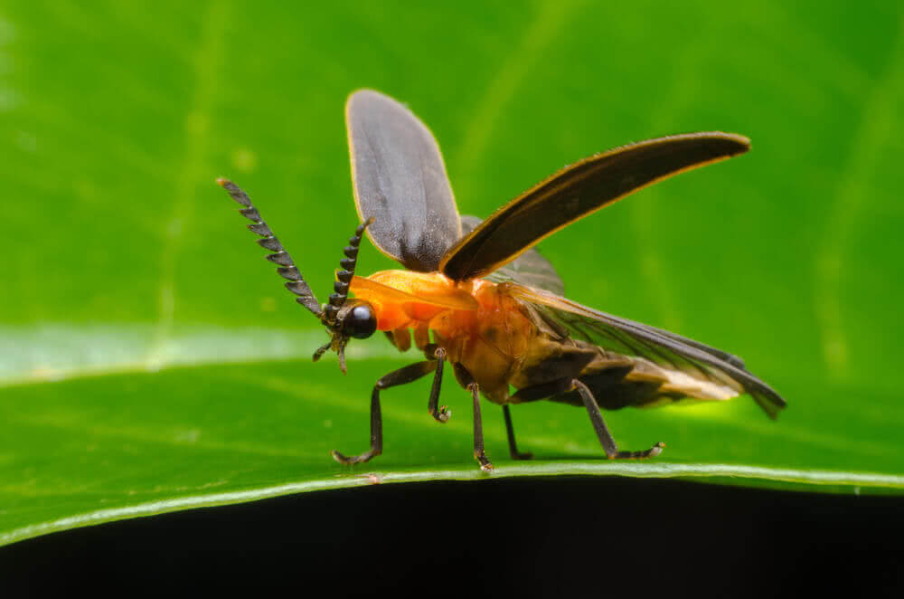 firefly insect