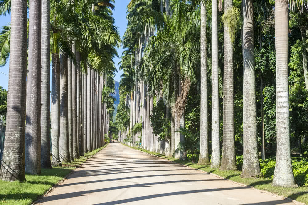 Palms suitable for avenue planting