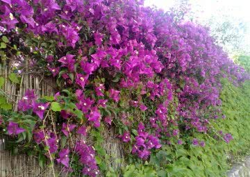 Top 10 Hedge Plants in India for Live Fencing