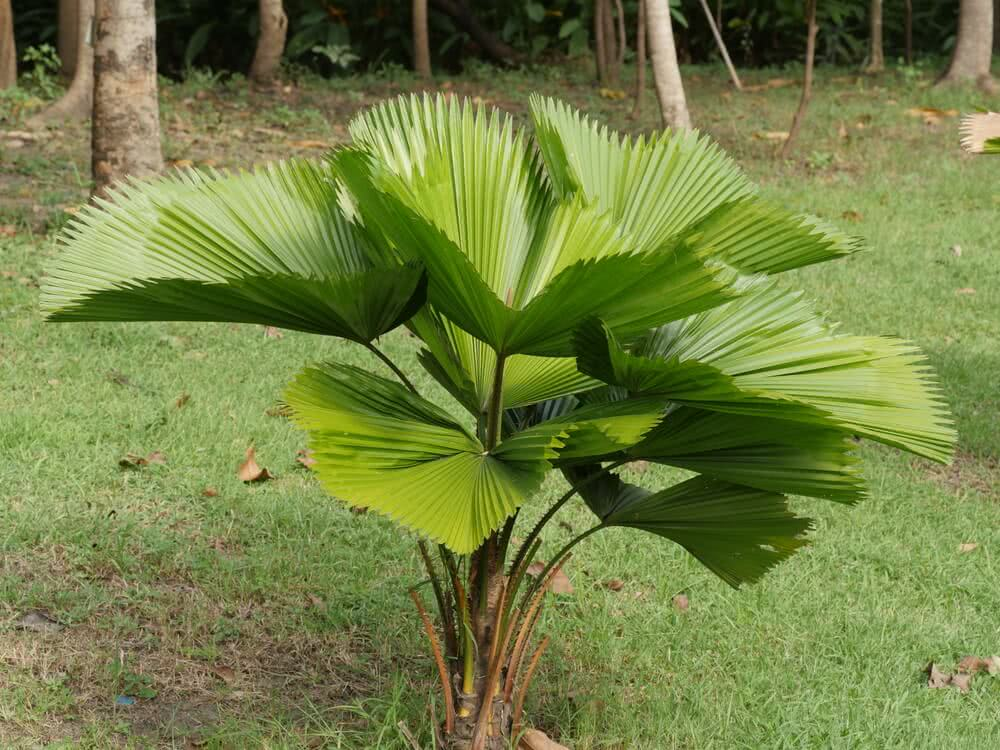 fan leave palm