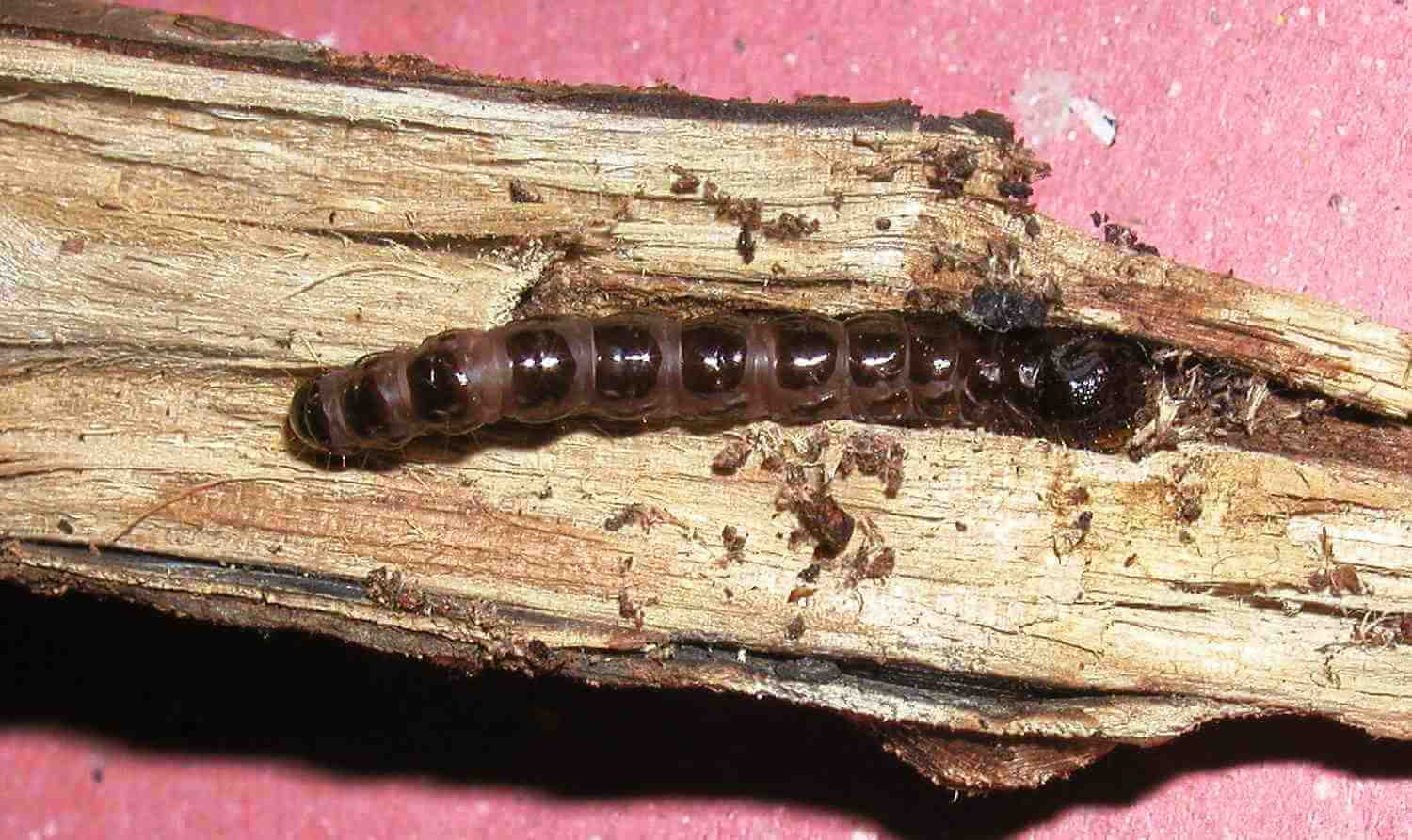 caterpillar that lives and feeds on the plant stems and branches