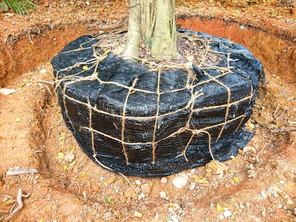 tree transplantation techniques