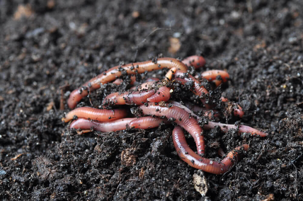 Earthworm: helpful insects