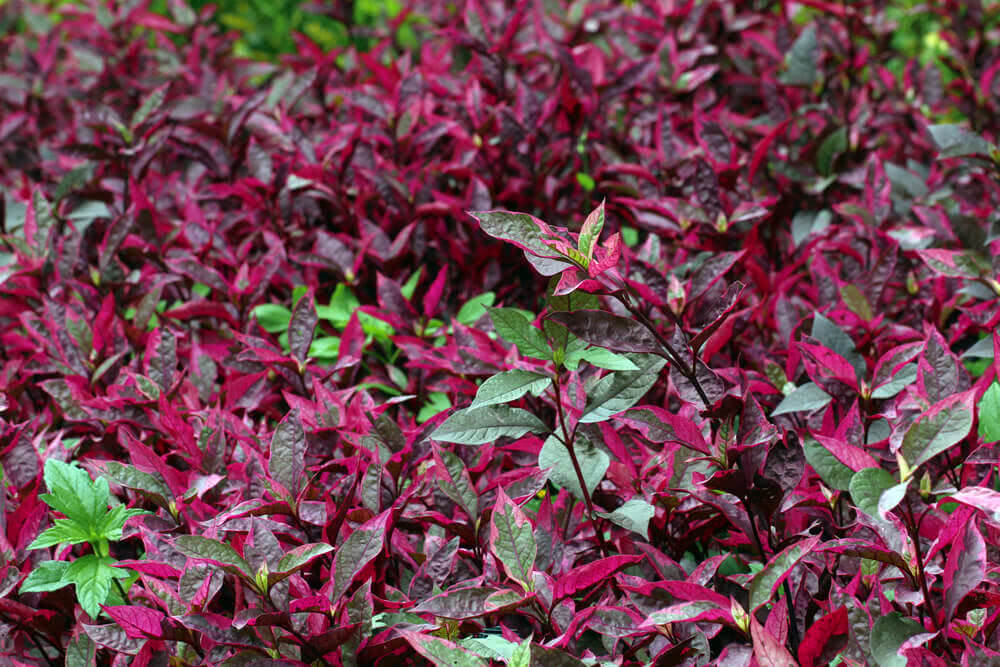 Alternanthera (amabilis) tricolour edge plant