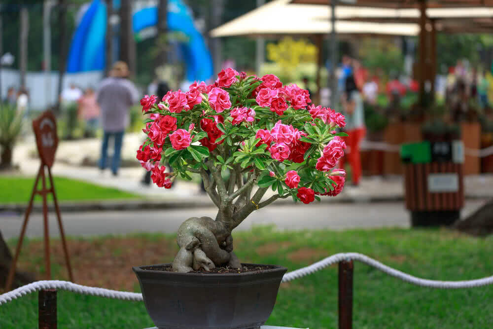adenium flowering bonsai
