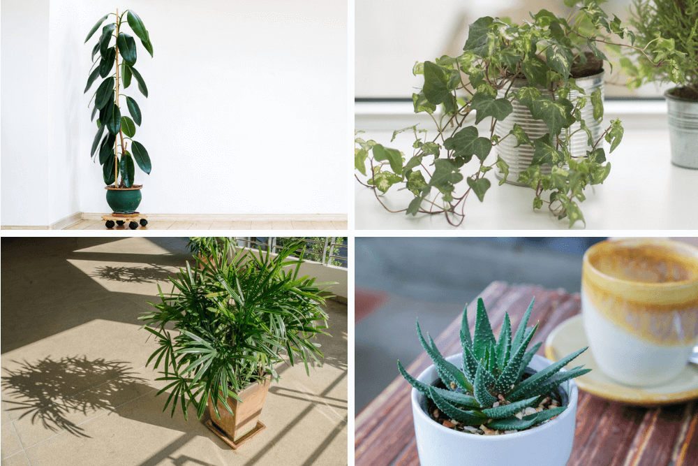 houseplants which purifies air