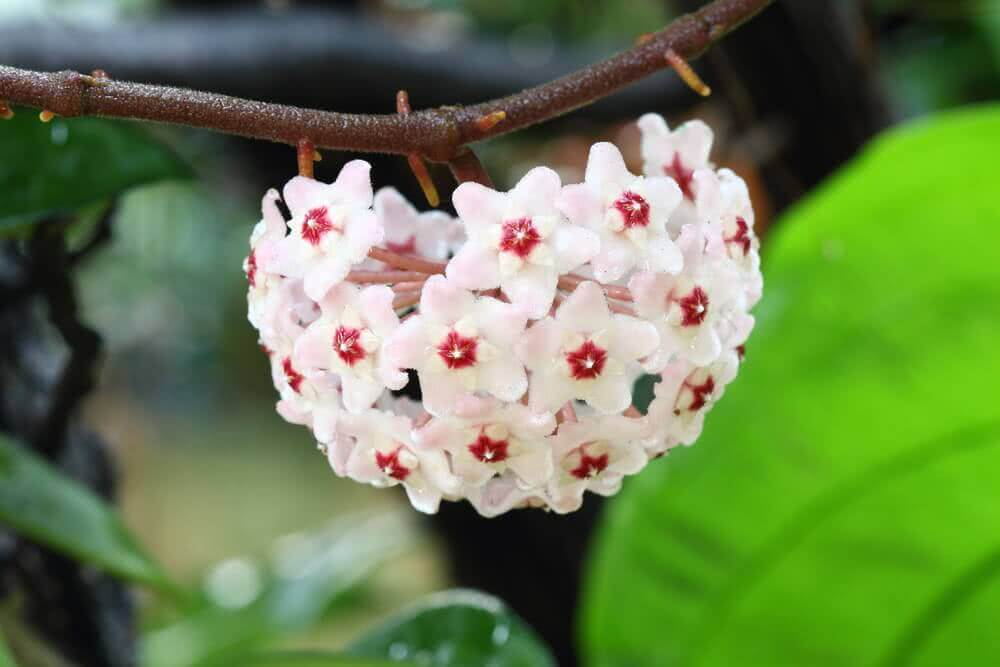White hoya flowers for home decor