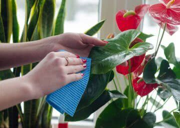 Houseplant care and maintenance