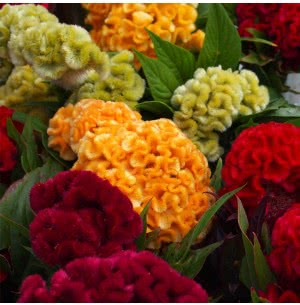 Celosia Cristata Flower (200 Seeds)