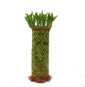 Fengshui Wheel Lucky bamboo Plant